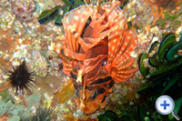 The dorsal spines of Lionfish are venomous. It often inhabits exposed rocky reefs.