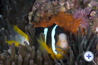 Clownfish can always be found within sea anemones in Hoi Ha Wan and Tung Ping Chau Marine Parks.