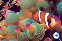 The special mucus on its skin not only helps the clownfish...