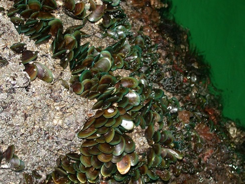 (A photo showing the green mussel Perna viridis)